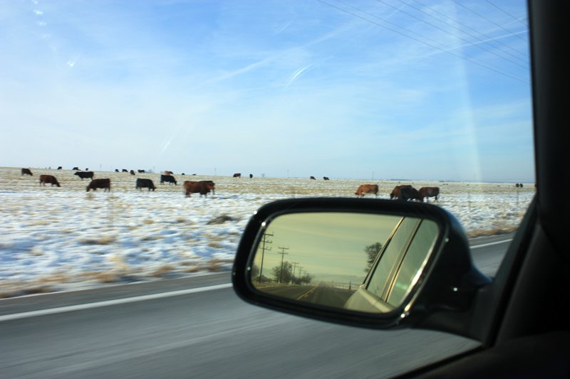 Looking out car window at cows