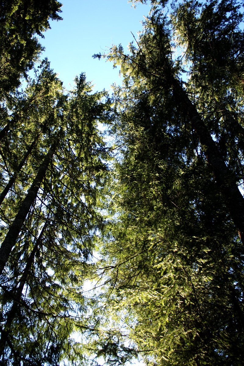 Packwood Tall Trees